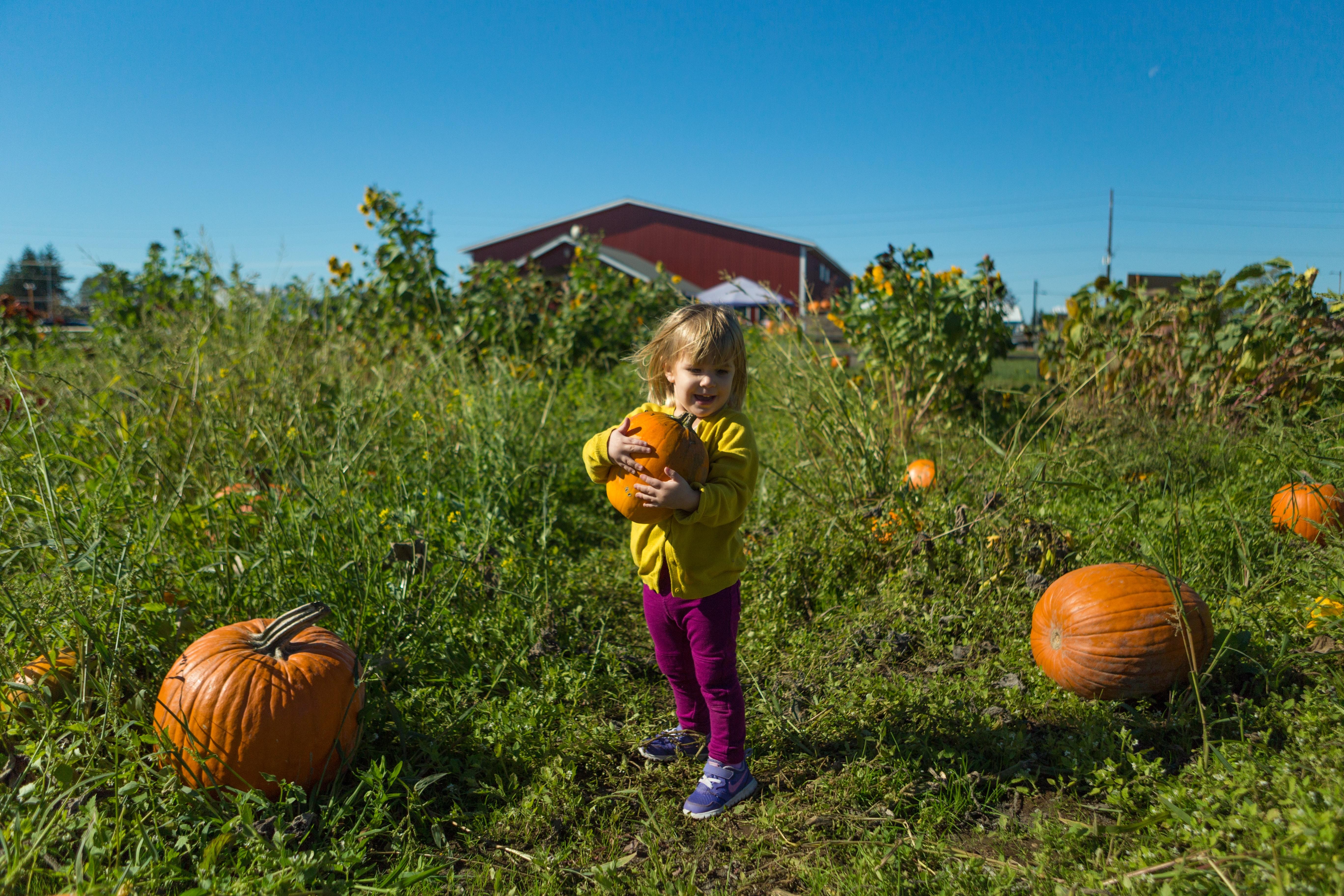 Little girl at a pumpkin patch